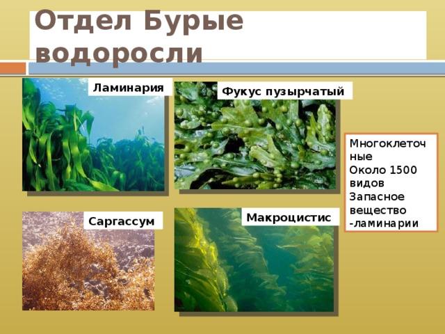 Отдел Бурые водоросли Ламинария Фукус пузырчатый Многоклеточные Около 1500 видов Запасное вещество -ламинарии Макроцистис Саргассум