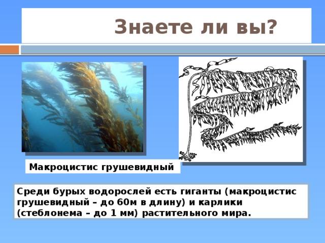Знаете ли вы? Макроцистис грушевидный Среди бурых водорослей есть гиганты (макроцистис грушевидный – до 60м в длину) и карлики (стеблонема – до 1 мм) растительного мира.