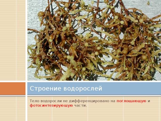 Строение водорослей Тело водоросли не дифференцировано на поглощающую и фотосинтезирующую части .