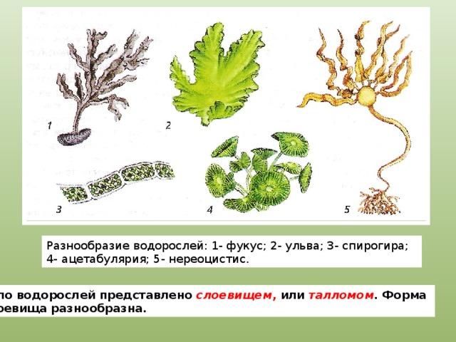 Разнообразие водорослей: 1- фукус; 2- ульва; 3- спирогира; 4- ацетабулярия; 5- нереоцистис. Тело водорослей представлено слоевищем , или талломом . Форма слоевища разнообразна.