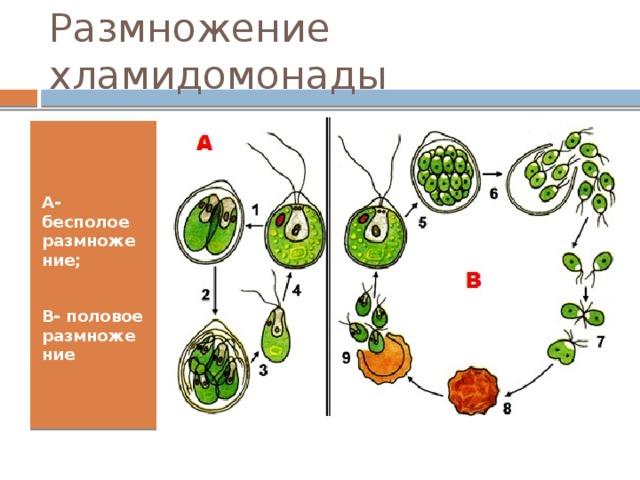 Размножение хламидомонады А- бесполое размножение;  В- половое размножение