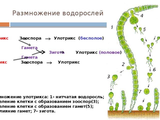 Размножение водорослей  Улотрикс Зооспора Улотрикс ( бесполое )   Гамета  Зигота Улотрикс (половое )  Гамета  Улотрикс Зооспора Улотрикс Размножение улотрикса: 1- нитчатая водоросль; 2- деление клетки с образованием зооспор(3); 4- деление клетки с образованием гамет(5);  6- слияние гамет; 7- зигота.