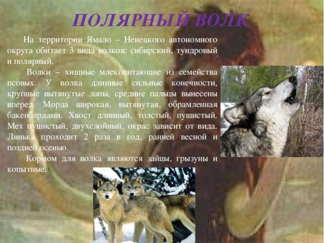 ПОЛЯРНЫЙ ВОЛК  На территории Ямало – Ненецкого автономного округа обитает 3 вида волков: сибирский, тундровый и полярный.  Волки – хищные млекопитающие из семейства псовых. У волка длинные сильные конечности, крупные вытянутые лапы, средние пальцы вынесены вперед. Морда широкая, вытянутая, обрамленная бакенбардами. Хвост длинный, толстый, пушистый. Мех пушистый, двухслойный, окрас зависит от вида. Линька проходит 2 раза в год, ранней весной и поздней осенью.  Кормом для волка являются зайцы, грызуны и копытные.
