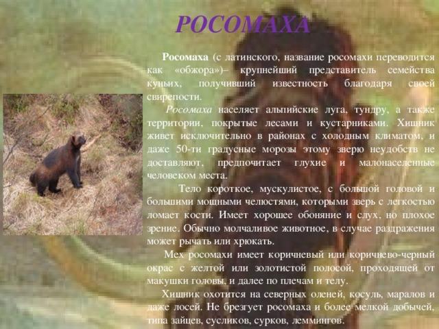 РОСОМАХА  Росомаха (с латинского, название росомахи переводится как «обжора»)– крупнейший представитель семейства куньих, получивший известность благодаря своей свирепости.  Росомаха населяет альпийские луга, тундру, а также территории, покрытые лесами и кустарниками. Хищник живет исключительно в районах с холодным климатом, и даже 50-ти градусные морозы этому зверю неудобств не доставляют, предпочитает глухие и малонаселенные человеком места.  Тело короткое, мускулистое, с большой головой и большими мощными челюстями, которыми зверь с легкостью ломает кости. Имеет хорошее обоняние и слух, но плохое зрение. Обычно молчаливое животное, в случае раздражения может рычать или хрюкать.   Мех росомахи имеет коричневый или коричнево-черный окрас с желтой или золотистой полосой, проходящей от макушки головы, и далее по плечам и телу.  Хищник охотится на северных оленей, косуль, маралов и даже лосей. Не брезгует росомаха и более мелкой добычей, типа зайцев, сусликов, сурков, леммингов.