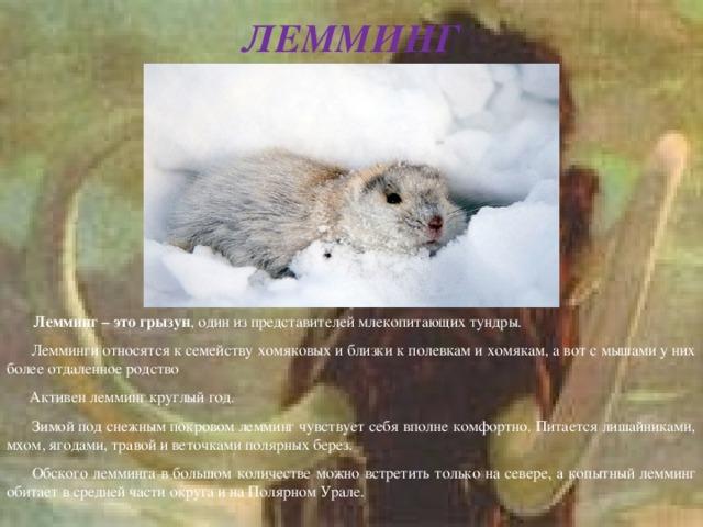 ЛЕММИНГ  Лемминг – это грызун , один из представителей млекопитающих тундры.  Лемминги относятся к семейству хомяковых и близки к полевкам и хомякам, а вот с мышами у них более отдаленное родство  Активен лемминг круглый год.  Зимой под снежным покровом лемминг чувствует себя вполне комфортно. Питается лишайниками, мхом, ягодами, травой и веточками полярных берез.  Обского лемминга в большом количестве можно встретить только на севере, а копытный лемминг обитает в средней части округа и на Полярном Урале.