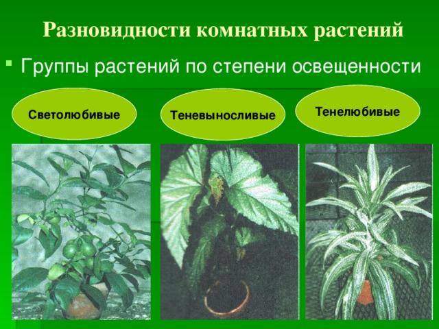 Разновидности комнатных растений Группы растений по степени освещенности Тенелюбивые Светолюбивые Теневыносливые