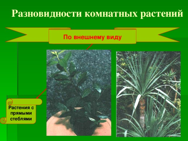 Разновидности комнатных растений По внешнему виду Растения с прямыми стеблями