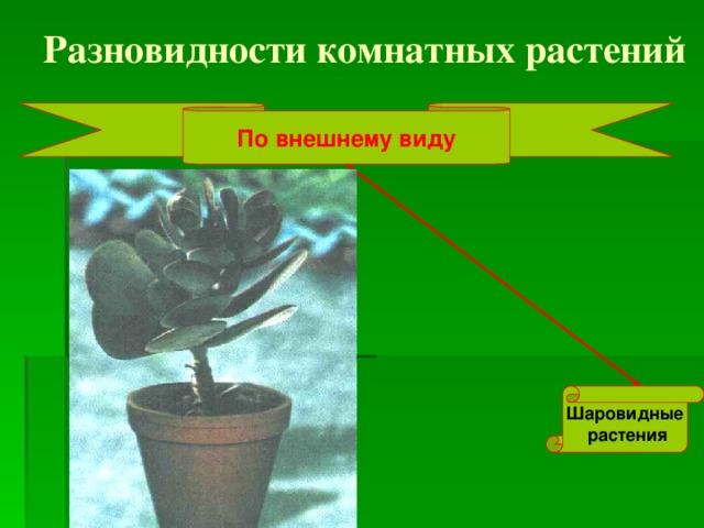 Разновидности комнатных растений По внешнему виду Шаровидные  растения