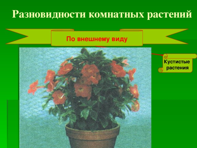 Разновидности комнатных растений По внешнему виду Кустистые растения