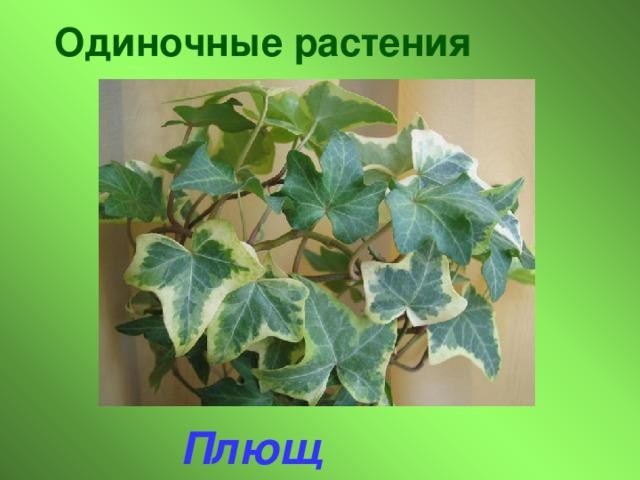 Одиночные растения Плющ