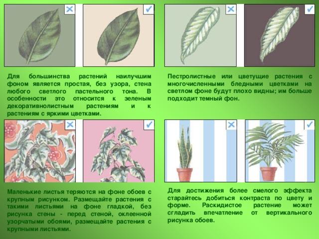 Пестролистные или цветущие растения с многочисленными бледными цветками на светлом фоне будут плохо видны; им больше подходит темный фон. Для большинства растений наилучшим фоном является простая, без узора, стена любого светлого пастельного тона. В особенности это относится к зеленым декоративнолистным растениям и к растениям с яркими цветками. Для достижения более смелого эффекта старайтесь добиться контраста по цвету и форме. Раскидистое растение может сгладить впечатление от вертикального рисунка обоев. Маленькие листья теряются на фоне обоев с крупным рисунком. Размещайте растения с такими листьями на фоне гладкой, без рисунка стены - перед стеной, оклеенной узорчатыми обоями, размещайте растения с крупными листьями.