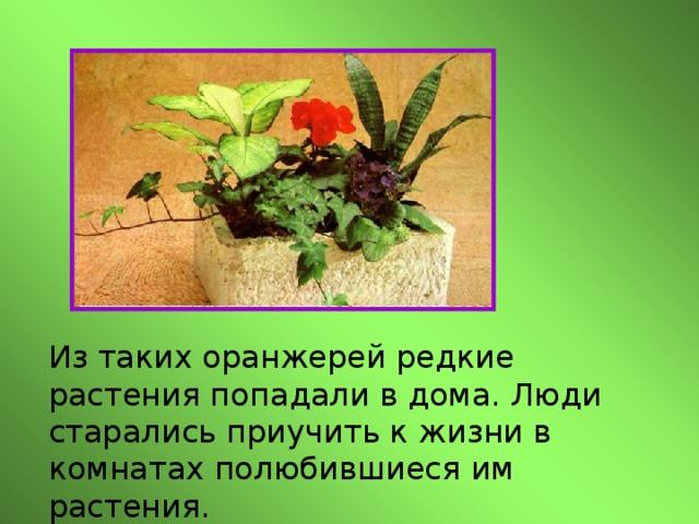 Из таких оранжерей редкие растения попадали в дома. Люди старались приучить к жизни в комнатах полюбившиеся им растения.