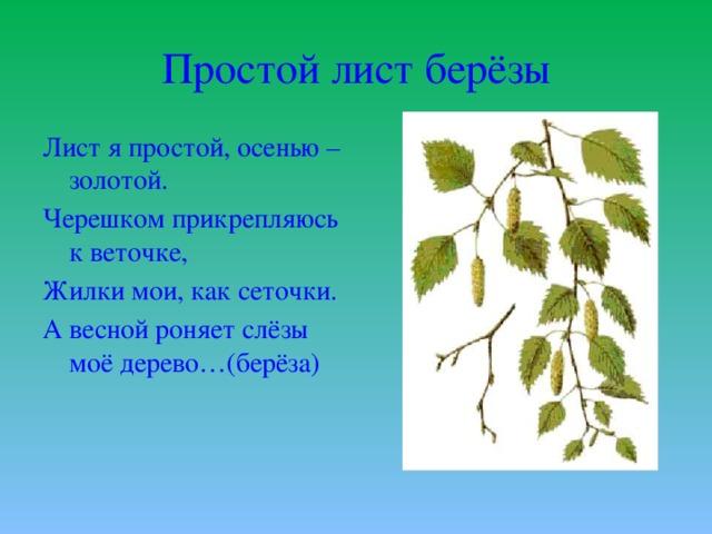 Простой лист берёзы Лист я простой, осенью – золотой. Черешком прикрепляюсь к веточке, Жилки мои, как сеточки. А весной роняет слёзы моё дерево…(берёза)