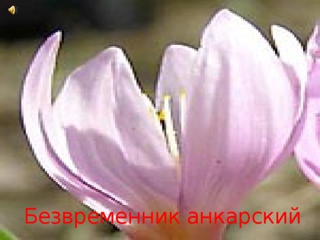 Безвременник анкарский