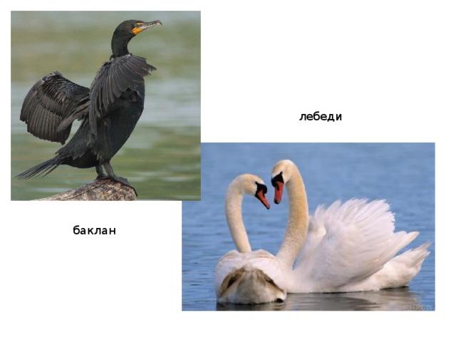 лебеди баклан