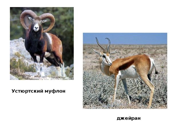 Устюртский муфлон  джейран