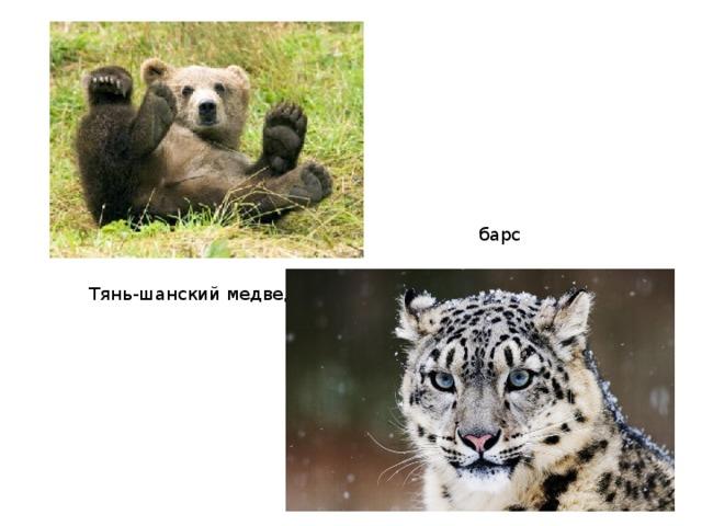 барс Тянь-шанский медведь