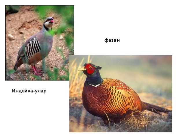 фазан Индейка-улар