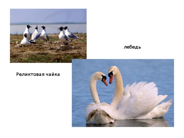 лебедь Реликтовая чайка