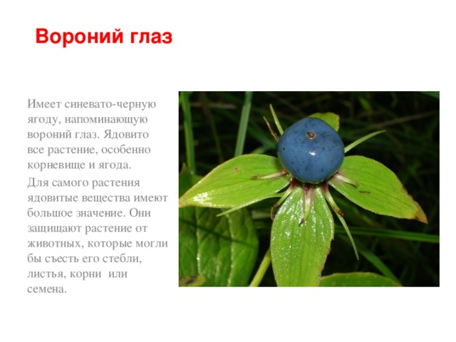 Вороний глаз Имеет синевато-черную ягоду, напоминающую вороний глаз. Ядовито все растение, особенно корневище и ягода. Для самого растения ядовитые вещества имеют большое значение. Они защищают растение от животных, которые могли бы съесть его стебли, листья, корни или семена.
