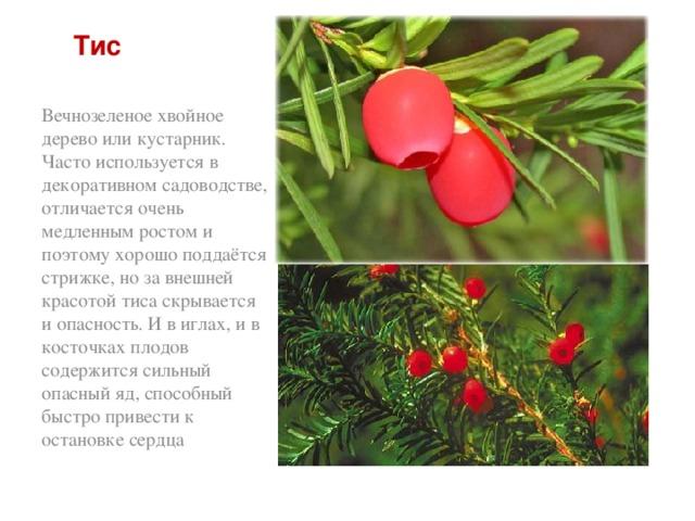 Тис Вечнозеленое хвойное дерево или кустарник. Часто используется в декоративном садоводстве, отличается очень медленным ростом и поэтому хорошо поддаётся стрижке, но за внешней красотой тиса скрывается и опасность. И в иглах, и в косточках плодов содержится сильный опасный яд, способный быстро привести к остановке сердца