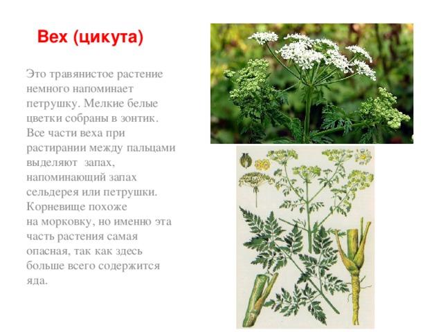 Вех (цикута) Это травянистое растение немного напоминает петрушку. Мелкие белые цветки собраны взонтик. Все части веха при растирании между пальцами выделяют запах, напоминающий запах сельдерея или петрушки.  Корневище похоже наморковку, ноименно эта часть растения самая опасная, так как здесь больше всего содержится яда.