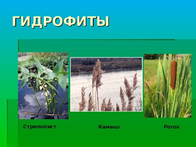 ГИДРОФИТЫ Стрелолист Рогоз Камыш