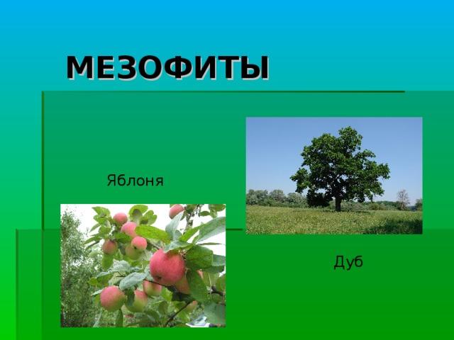 МЕЗОФИТЫ Яблоня Дуб