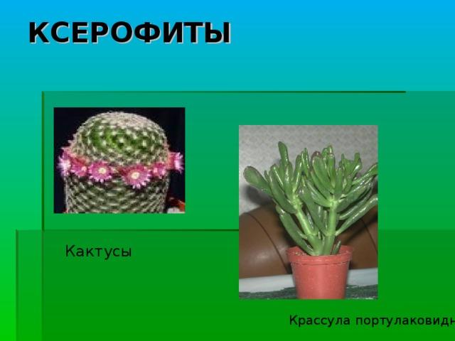 КСЕРОФИТЫ Кактусы Крассула портулаковидная