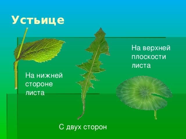 На верхней плоскости листа На нижней стороне листа Устьица могут по-разному располагаться на листьях различных растений.  На листьях, расположенных горизонтально, большинство устьиц находится на нижней стороне листа.  У листьев, растущих вертикально, – с двух сторон.  Существуют и такие плавающие на воде листья, например листья кувшинки, у которых устьица находятся на верхней плоскости листа. С двух сторон