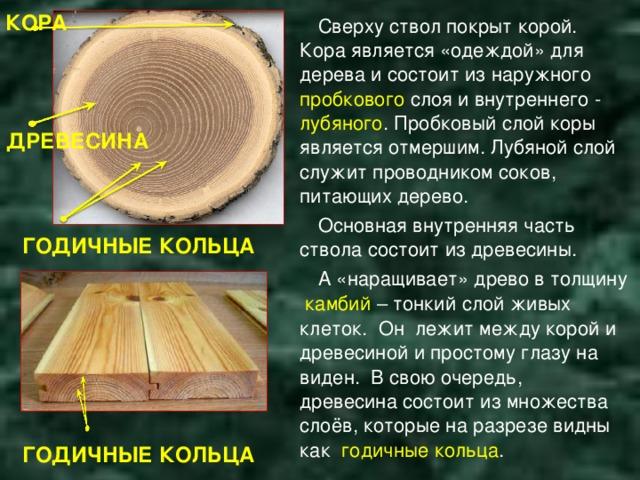 КОРА Сверху ствол покрыт корой. Кора является «одеждой» для дерева и состоит из наружного пробкового слоя и внутреннего - лубяного . Пробковый слой коры является отмершим. Лубяной слой служит проводником соков, питающих дерево. Основная внутренняя часть ствола состоит из древесины. А «наращивает» древо в толщину камбий  – тонкий слой живых клеток. Он лежит между корой и древесиной и простому глазу на виден. В свою очередь, древесина состоит из множества слоёв, которые на разрезе видны как годичные кольца . ДРЕВЕСИНА ГОДИЧНЫЕ КОЛЬЦА ГОДИЧНЫЕ КОЛЬЦА