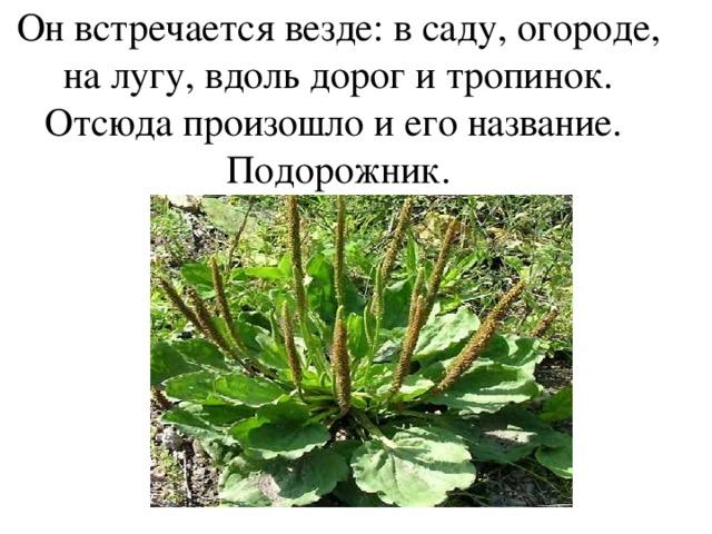 Он встречается везде: в саду, огороде, на лугу, вдоль дорог и тропинок. Отсюда произошло и его название. Подорожник.