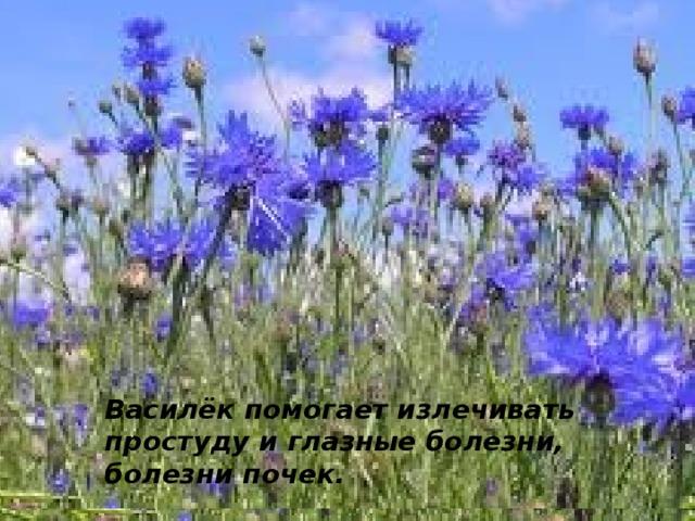 Пусть сорняк он простой Среди пшеницы хлебной. Осколок неба голубой – Наш василёк волшебный.  Василёк помогает излечивать простуду и глазные болезни, болезни почек.