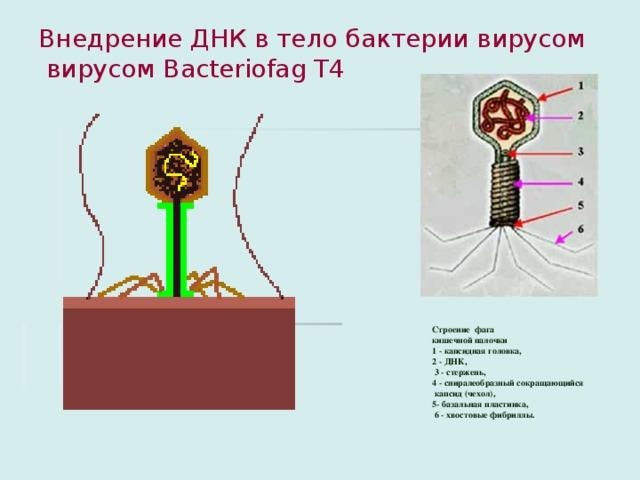 Внедрение ДНК в тело бактерии вирусом  вирусом Bacteriofag T4   Строение фага кишечной палочки 1 - капсидная головка, 2 - ДНК,  3 - стержень, 4 - спиралеобразный сокращающийся  капсид (чехол), 5- базальная пластинка,  6 - хвостовые фибриллы.