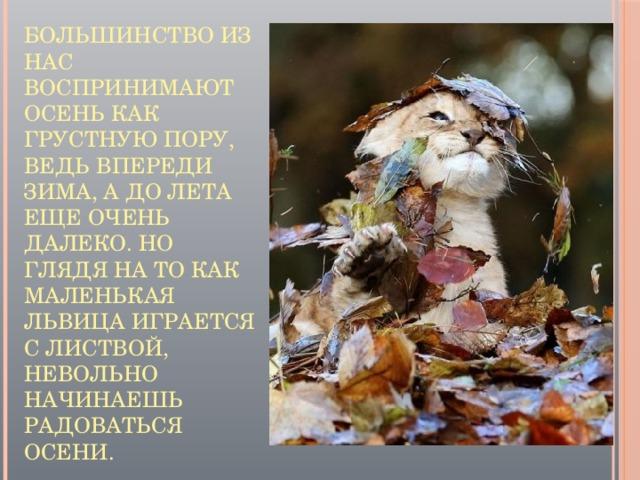 Большинство из нас воспринимают осень как грустную пору, ведь впереди зима, а до лета еще очень далеко. Но глядя на то как маленькая львица играется с листвой, невольно начинаешь радоваться осени.