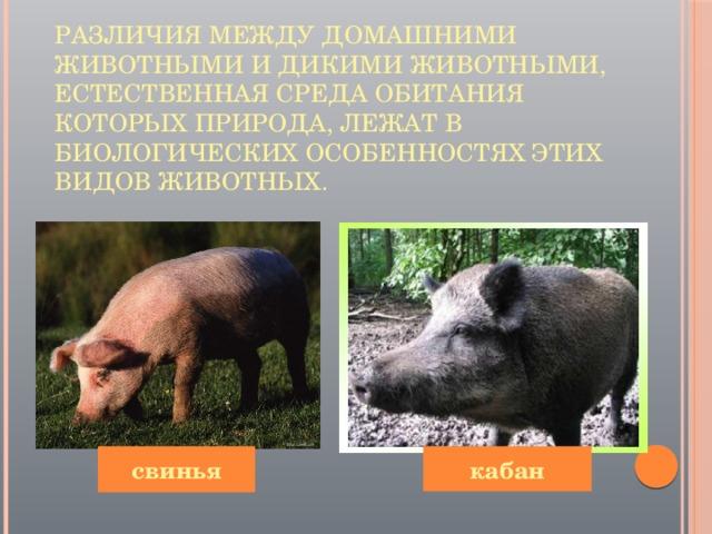 Различия между домашними животными и дикими животными, естественная среда обитания которых природа, лежат в биологических особенностях этих видов животных.   свинья кабан