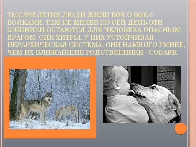 Тысячелетия люди жили бок о бок с волками, тем не менее по сей день эти хищники остаются для человека опасным врагом. Они хитры, у них устойчивая иерархическая система, они намного умнее, чем их ближайшие родственники - собаки