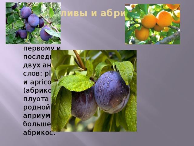 Гибрид сливы и абрикоса -плуот назван по первому и последнему слогу двух английских слов: plum (слива) и apricot (абрикос). У плуота есть родной брат — априум, который больше похож на абрикос.   Гибрид сливы и абрикоса, плуот назван по первому и последнему слогу двух английских слов: plum (слива) и apricot (абрикос). У плуота, который больше все же пошел в сливу, есть родной брат — априум, который, напротив, больше похож на абрикос.   Снаружи плуот может быть розового, зеленого, бордового и фиолетового цвета, а внутри — от белого до насыщенного сливового. Его вывели в 1989 году в калифорнийском питомнике Dave Wilson Nursery. На сегодняшний день в мире насчитывается одиннадцать сортов плуота. Из него получается отличный сок, десерты, домашние заготовки и даже вино. А в свежем виде это настоящее лакомство, ведь плуот гораздо слаще как сливы, так и абрикоса.