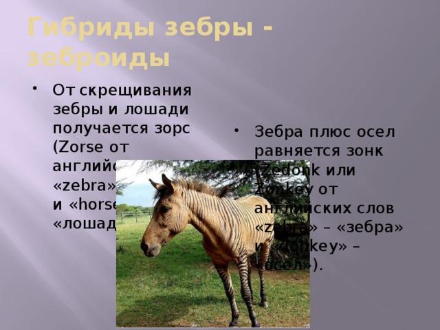 Гибриды зебры - зеброиды