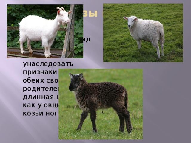 Гибрид козы и барана -базл выживший гибрид мужского пола смог унаследовать признаки сразу обеих своих родителей. У него длинная шерсть, как у овцы, и козьи ноги. Домашняя коза принадлежит к роду горных козлов, а домашняя овца — к роду баранов. У козы 60 хромосом, а у овцы 54. Поэтому их потомство обычно бывает мертворожденным. А вот выживший гибрид мужского пола смог унаследовать признаки сразу обеих своих родителей. У него длинная шерсть, как у овцы, и козьи ноги. Анализ кариотипа показал, что особь имеет 57 хромосом, что оказалось средним между числом его родителей. Ирландский базл родился от белой овцы, но сам имеет коричневый цвет. Также у него появились рога, похожие на козлиные. Двигается он намного быстрее чем ягнята