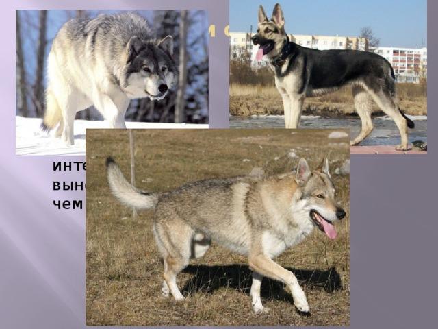 Гибрид волка и собаки - волкопёс гибриды обладают намного более развитыми чутьем, интеллектом и выносливостью, чем собаки . Эти гибриды обладают намного более развитыми чутьем, интеллектом и выносливостью, чем собаки. В замкнутом пространстве находят человека за 20 секунд, против 4—6 минут у овчарки. Также примечательным является то, что обладая габаритами и хваткой волка, волкособы остаются послушными и нежными по отношению к человеку. На момент начала 2010-х годов имеющиеся популяции волкособов используются для охраны китайской и монгольской границ России. С ними работает пограничное управление ФСБ.