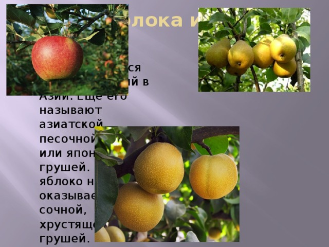 Гибрид яблока и груши -нэши Культивируется много столетий в Азии. Еще его называют азиатской, песочной, водяной или японской грушей. Круглое яблоко на вкус оказывается сочной, хрустящей грушей. Цвет фрукта — от бледно-зеленого до оранжевого. Яблокогруша имеет преимущество перед обычной грушей: оно тверже, поэтому лучше переносит транспортировку и хранение.   Использовать фрукт лучше соло или в салатах, потому что нэши содержит много воды, что не очень хорошо для термической обработки. Кроме того, нэши подают как закуску к вину вместе с виноградом и сыром. Существует около 10 особенно популярных коммерческих сортов нэши, которые выращивают в США, Австралии, Новой Зеландии, Чили, Франции и на Кипре.