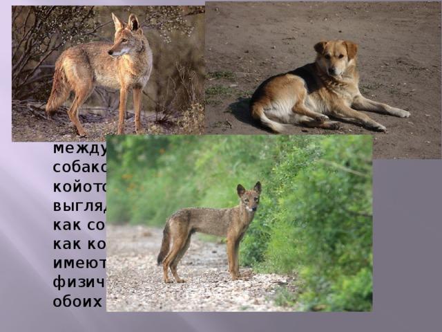 Гибрид койота и собаки -догойот или койдог Внешне представляют собой сочетание между домашней собакой и диким койотом и могут выглядеть или как собака, или как койот, или же имеют физические черты обоих видов. Внешне догойоты представляют собой сочетание между домашней собакой и диким койотом и могут выглядеть или как собака, или как койот, или же имеють физические черты обоих видов. Чаще всего имеют коричневую или серую расцветку, густой длинный хвост и носят его в нижнем положении или под углом в 45 градусов. Уши большие и стоячие. Некоторые люди содержат догойотов как домашних животные. Для такого разведения обычно берут немецкую овчарку. Гибрид койта с хаски называют синим догойотом (blue dogote). Также известны гибриды койотов с колли (последнее фото, в капкане). Гибриды имеют тягу к охоте и часто приносят домой грызунов и других мелких животных.