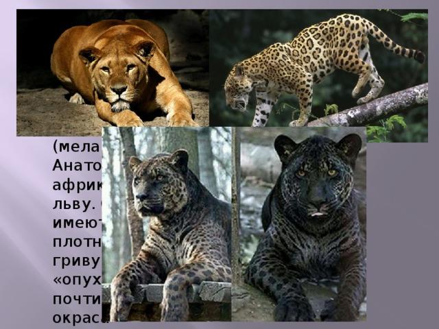 Гибрид самца ягуара и львицы - яглев Преимущественно обладает чёрным окрасом (меланист). Анатомия подобна африканскому льву. Самцы имеют короткую плотную чёрную гриву. Лицо «опухшее» и почти серого окраса Яглев преимущественно обладает чёрным окрасом (меланист). Анатомия подобна африканскому льву. Самцы имеют короткую плотную чёрную гриву. Лицо «опухшее» и почти серого окраса. Иногда окрас бывает коричнево-рыжим или тёмно-рыжим.