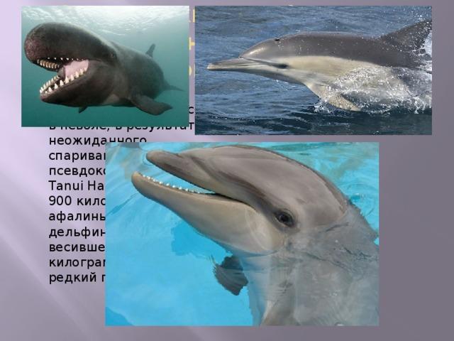 Гибрид самки дельфина из рода Афалины с самцом малой чёрной косатки -вольфин Самка появилась на свет в неволе, в результате неожиданного спаривания самца псевдокосатки по имени Tanui Hahai, весившего 900 килограмм и афалины (бутылконосый дельфин) Punahele, весившей около 200 килограмм. Это очень редкий гибрид. Размеры и другие параметры косаткодельфина средние между исходными видами. Например, у афалины зубов — 88, у косатки — 44, а у косаткодельфина 66. Сейчас в неволе живут всего два экземпляра вольфинов — оба в морском парке «Sea Life Park» на Гавайях. До ученых доходили сообщения о вольфинах, увиденных на воле, но проверить их пока не удалось.