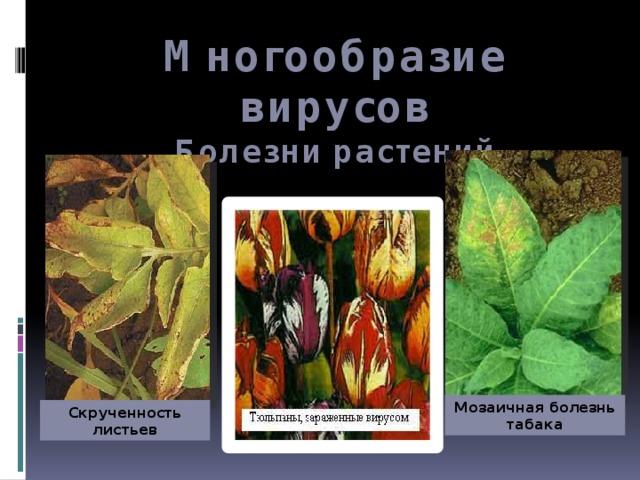 Многообразие вирусов  Болезни растений Мозаичная болезнь табака Скрученность листьев