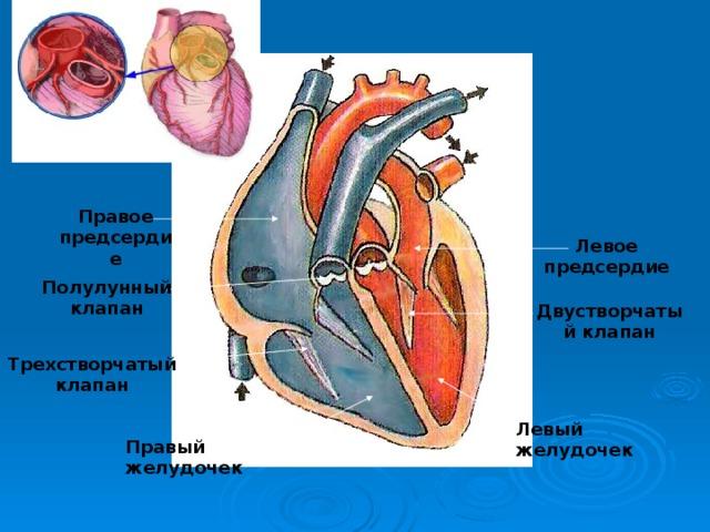 Правое предсердие Левое предсердие Полулунный клапан Двустворчатый клапан Трехстворчатый клапан Левый желудочек Правый желудочек