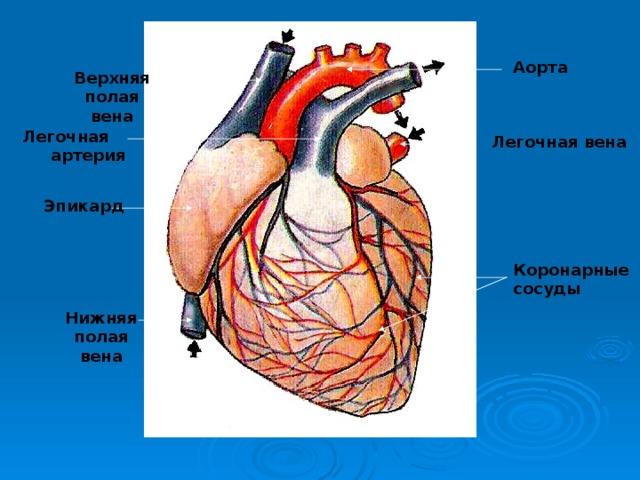 Аорта Верхняя полая вена Легочная артерия Легочная вена Эпикард Коронарные сосуды Нижняя полая вена