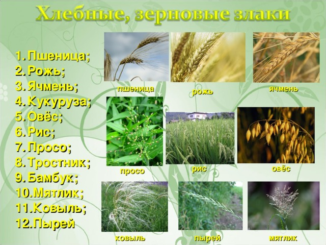 даче просо пшеница овес люцерна клевер свекла картинки как люди