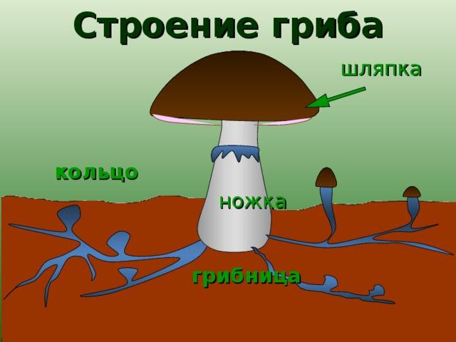 Строение гриба шляпка  кольцо ножка грибница